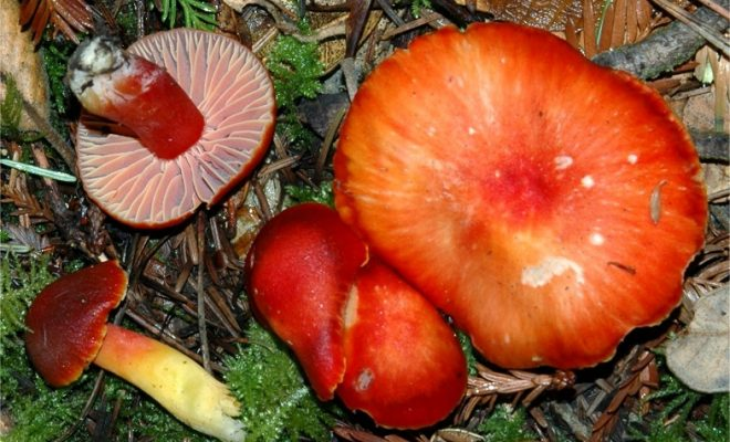 Hygrocybe punicea3